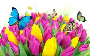 tulips-flowers-butterflies-colorful-1440x900